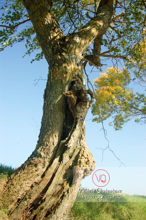 Vieux tronc d'arbre - Réf : VQF&J-0530 (Q1)