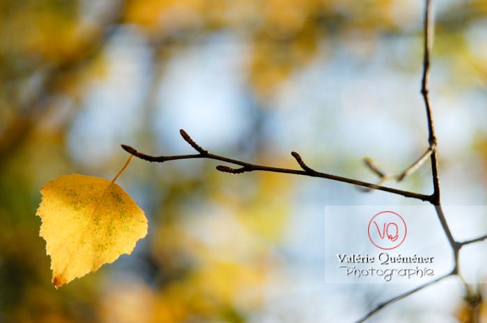 Feuille jaune au bout d'une branche à l'automne - Réf : VQF&J-0675 (Q1)