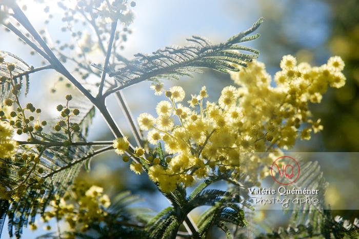 Fleur de mimosa - Réf : VQF&J-0685 (Q1)