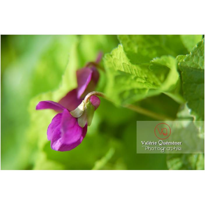 Une fleur de violette odorante (viola odorata) en gros plan - Réf : VQF&J-0761 (Q1)