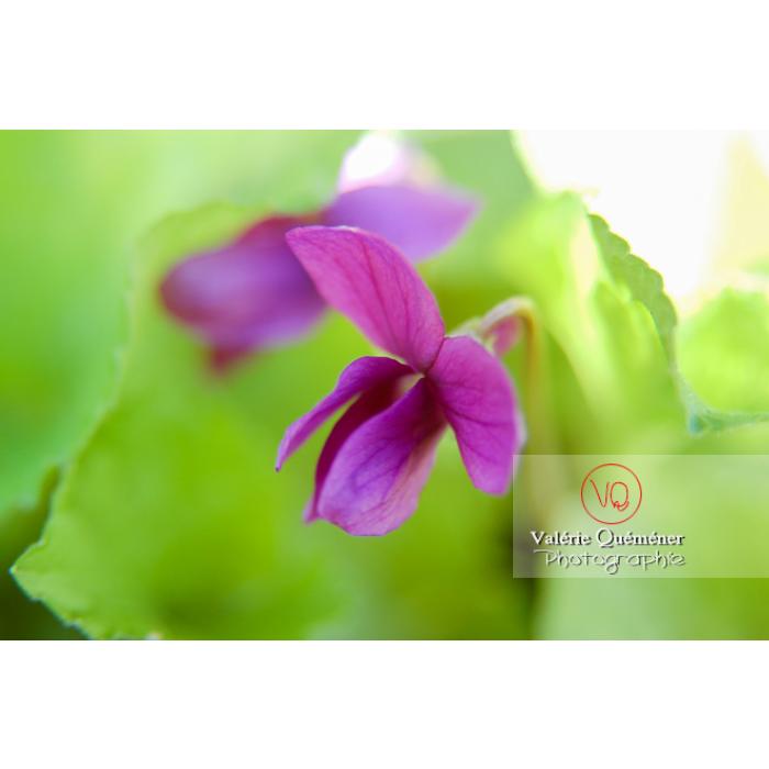 Fleur de violette - Réf : VQF&J-0835 (Q1)