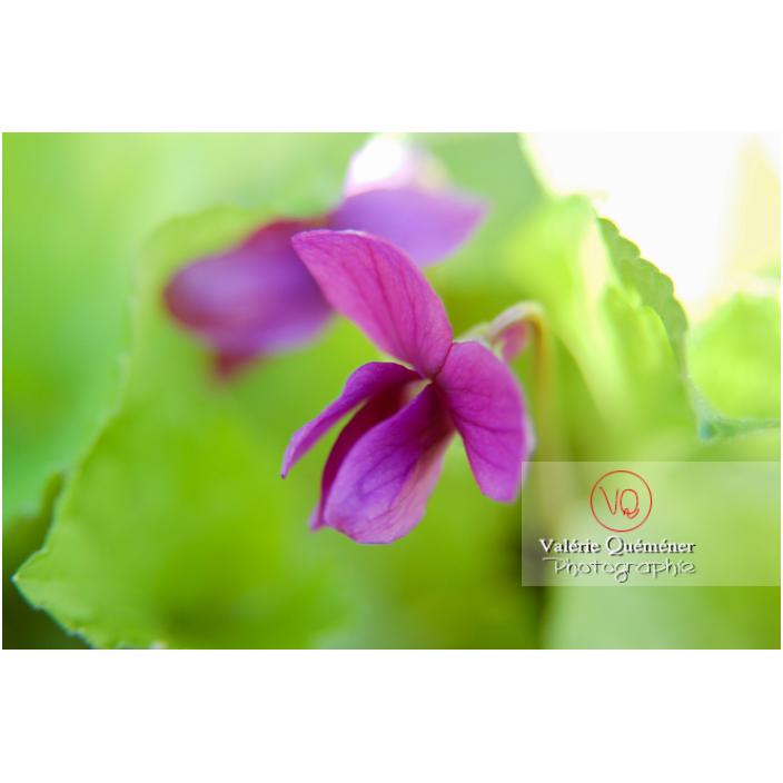 Une fleur de violette odorante (viola odorata) en gros plan - Réf : VQF&J-0835 (Q1)