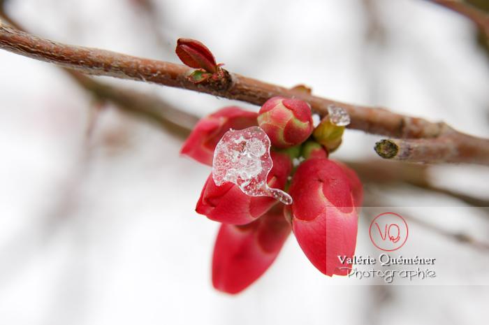 Fleur de cognassier - Réf : VQF&J-0896 (Q1)