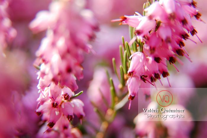 Fleur de bruyère - Réf : VQF&J-0941 (Q1)