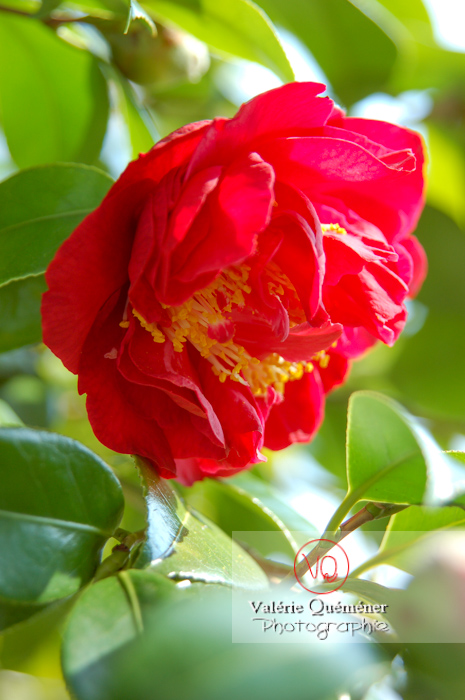 Fleur rouge de camélia - Réf : VQF&J-0943 (Q1)