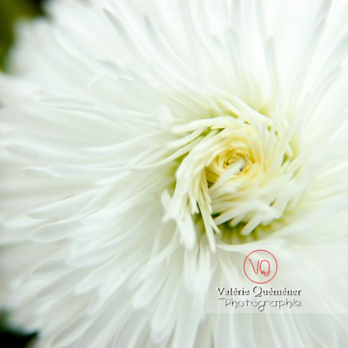 Fleur blanche de pâquerette pompon - Réf : VQF&J-0995 (Q1)