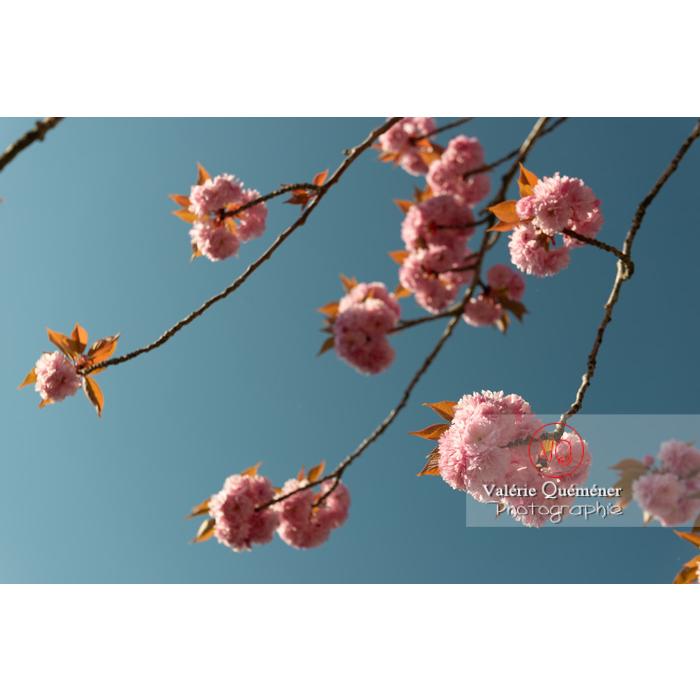 Fleurs roses d'un cerisier du japon (prunus serrulata) / Saône-et-Loire / Bourgogne - Réf : VQF&J-10001 (Q3)