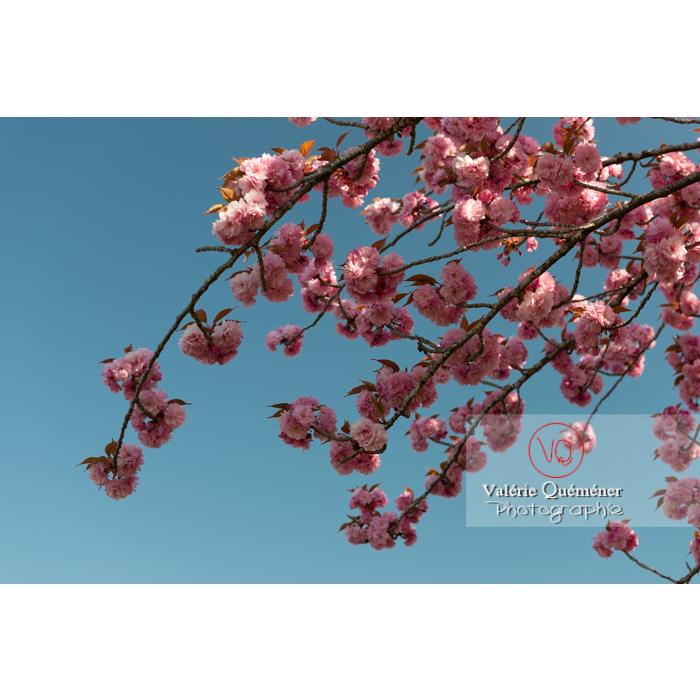 Branches de fleurs roses d'un cerisier du japon (prunus serrulata) / Saône-et-Loire / Bourgogne - Réf : VQF&J-10005 (Q3)