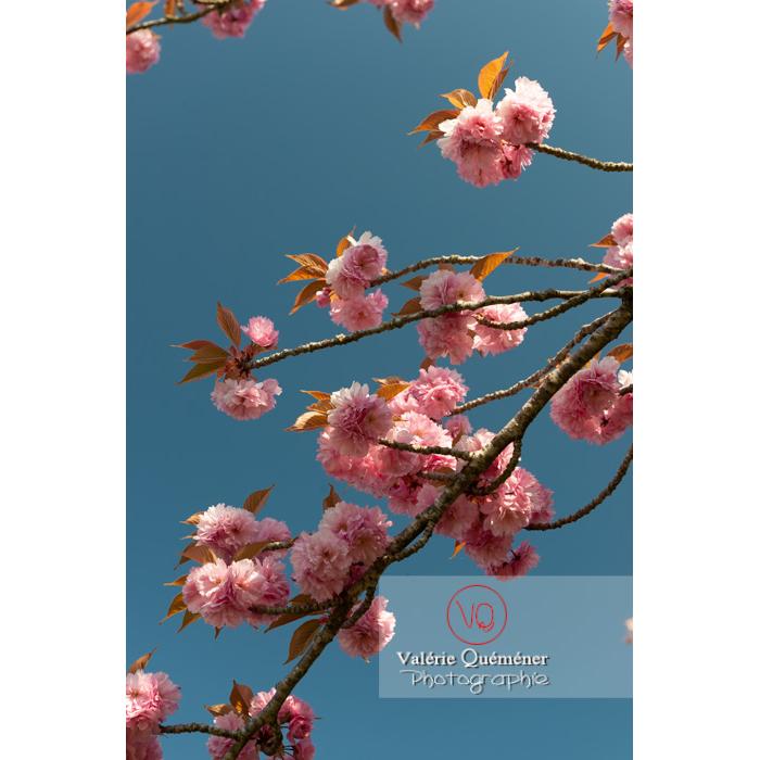 Fleurs roses d'un cerisier du japon (prunus serrulata) / Saône-et-Loire / Bourgogne - Réf : VQF&J-10006 (Q3)