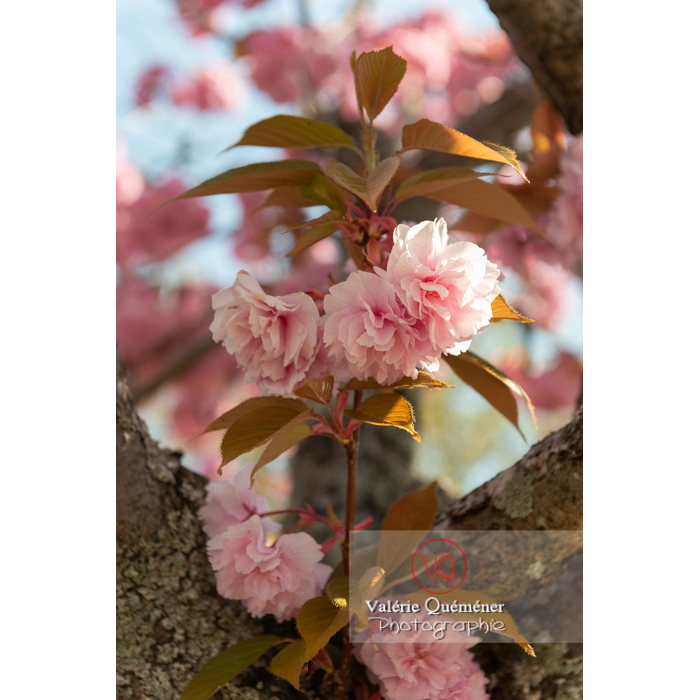 Fleurs roses d'un cerisier du japon (prunus serrulata) / Saône-et-Loire / Bourgogne - Réf : VQF&J-10007 (Q3)