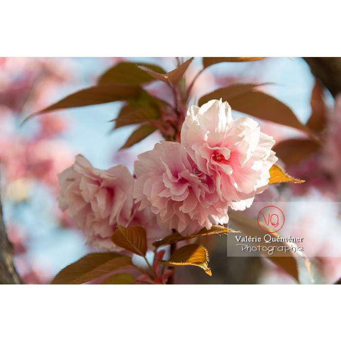 Fleurs roses d'un cerisier du japon (prunus serrulata) / Saône-et-Loire / Bourgogne - Réf : VQF&J-10008 (Q3)