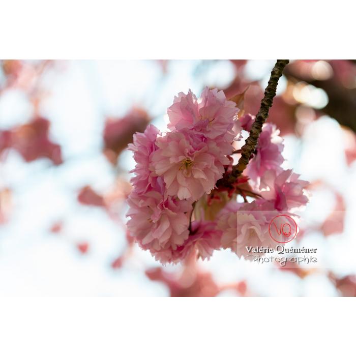Fleurs roses d'un cerisier du japon (prunus serrulata) / Saône-et-Loire / Bourgogne - Réf : VQF&J-10010 (Q3)