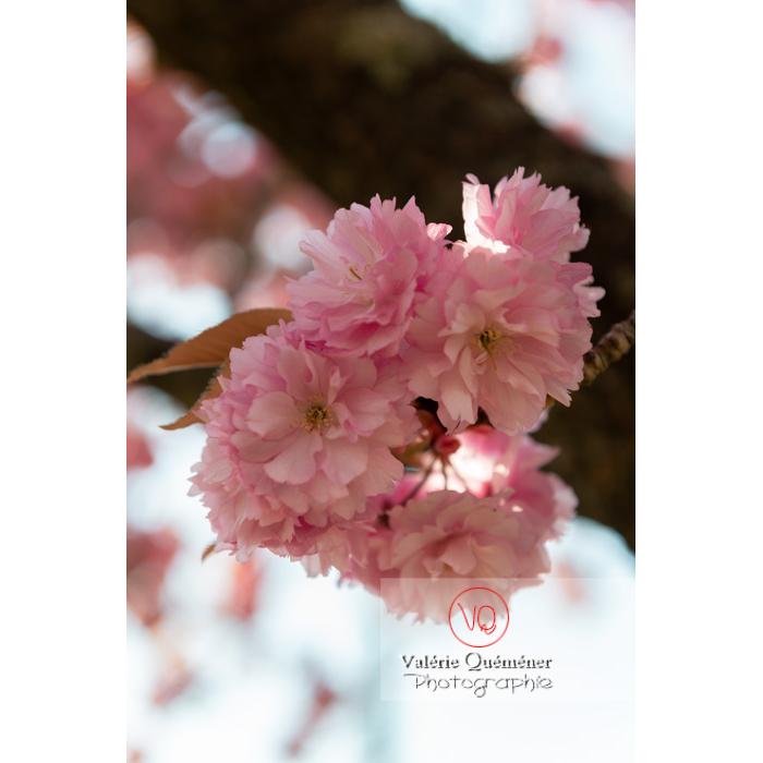 Fleurs roses d'un cerisier du japon (prunus serrulata) / Saône-et-Loire / Bourgogne - Réf : VQF&J-10011 (Q3)