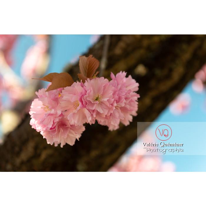Fleurs roses d'un cerisier du japon (prunus serrulata) / Saône-et-Loire / Bourgogne - Réf : VQF&J-10012 (Q3)