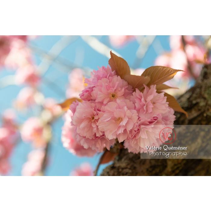 Bouquet de fleurs roses d'un cerisier du japon (prunus serrulata) / Saône-et-Loire / Bourgogne - Réf : VQF&J-10017 (Q3)
