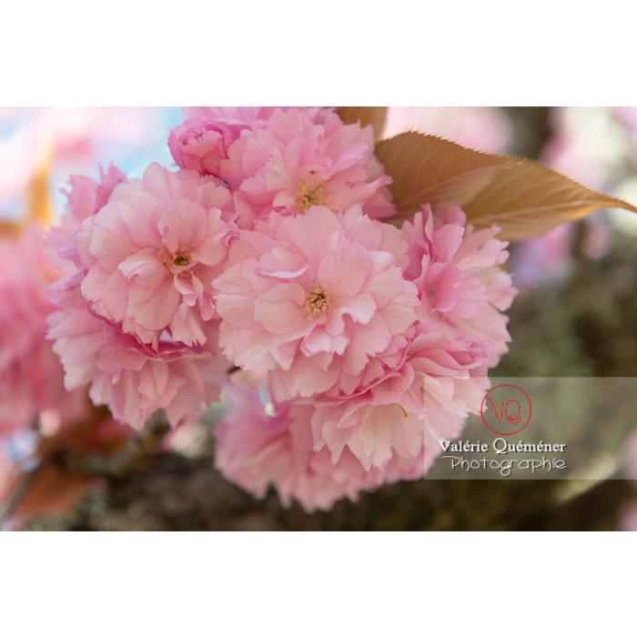 Bouquet de fleurs roses d'un cerisier du japon (prunus serrulata) / Saône-et-Loire / Bourgogne - Réf : VQF&J-10019 (Q3)