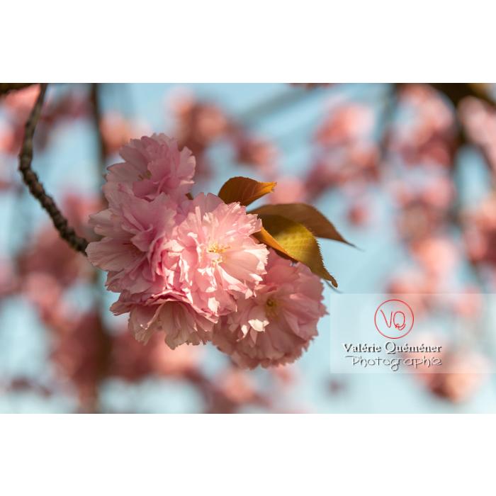 Fleurs roses d'un cerisier du japon (prunus serrulata) / Saône-et-Loire / Bourgogne - Réf : VQF&J-10021 (Q3)