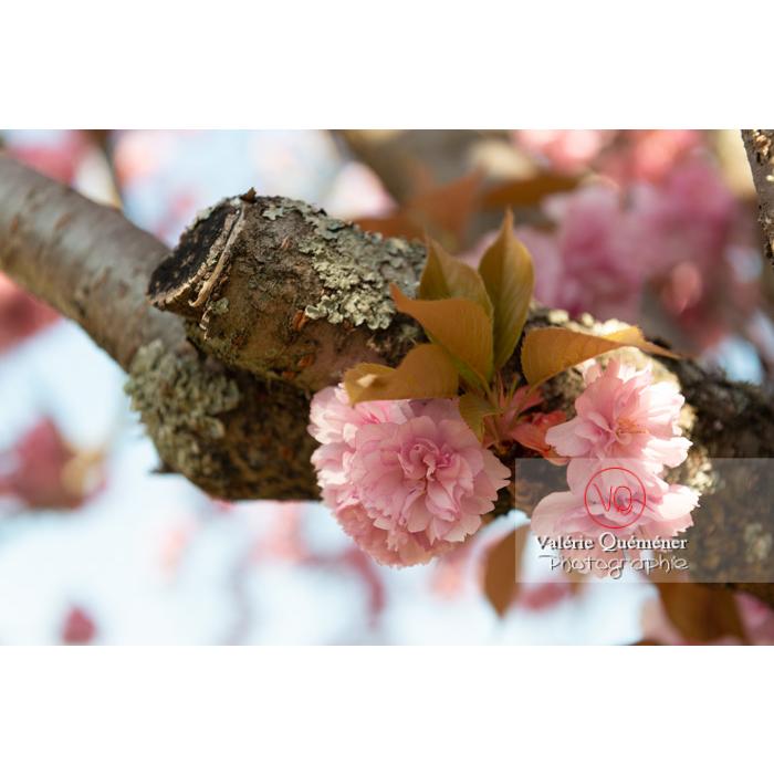 Fleurs roses d'un cerisier du japon (prunus serrulata) / Saône-et-Loire / Bourgogne - Réf : VQF&J-10025 (Q3)