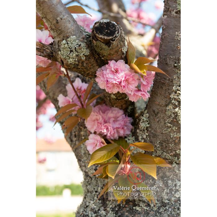 Fleurs roses d'un cerisier du japon (prunus serrulata) / Saône-et-Loire / Bourgogne - Réf : VQF&J-10031 (Q3)