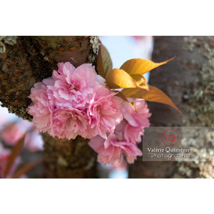Fleurs roses d'un cerisier du japon (prunus serrulata) / Saône-et-Loire / Bourgogne - Réf : VQF&J-10032 (Q3)