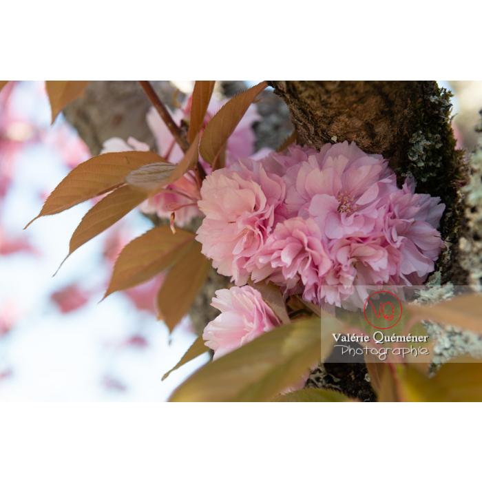 Fleurs roses d'un cerisier du japon (prunus serrulata) / Saône-et-Loire / Bourgogne - Réf : VQF&J-10034 (Q3)