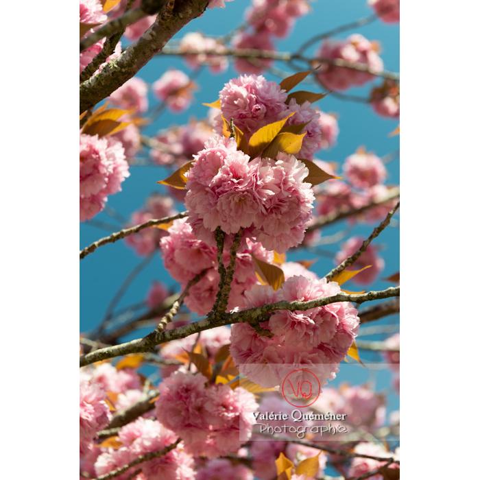 Fleurs roses d'un cerisier du japon (prunus serrulata) / Saône-et-Loire / Bourgogne - Réf : VQF&J-10035 (Q3)