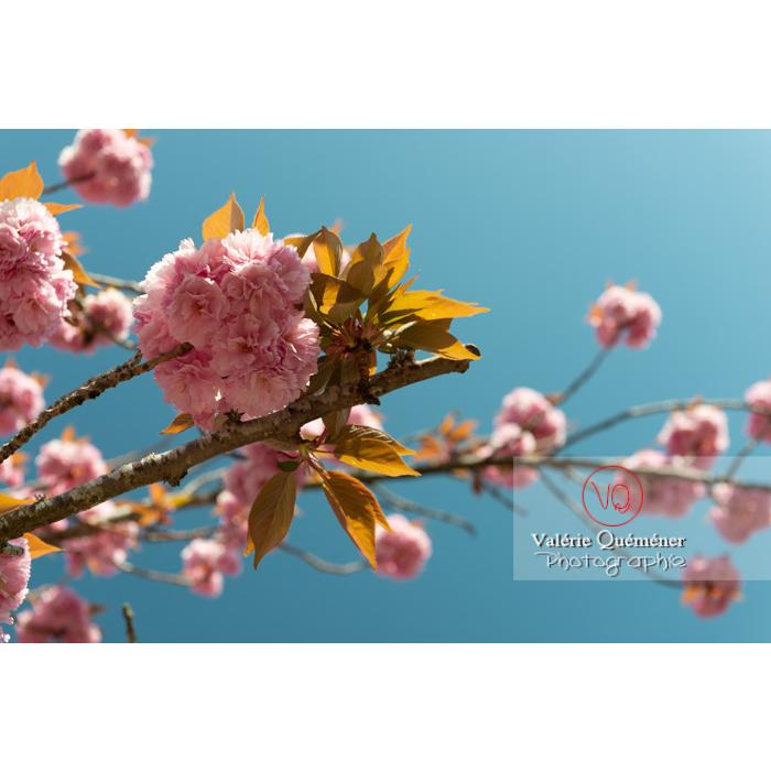 Fleurs roses d'un cerisier du japon (prunus serrulata) / Saône-et-Loire / Bourgogne - Réf : VQF&J-10036 (Q3)