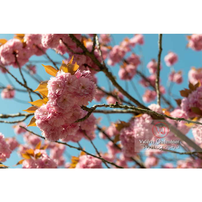 Fleurs roses d'un cerisier du japon (prunus serrulata) / Saône-et-Loire / Bourgogne - Réf : VQF&J-10037 (Q3)