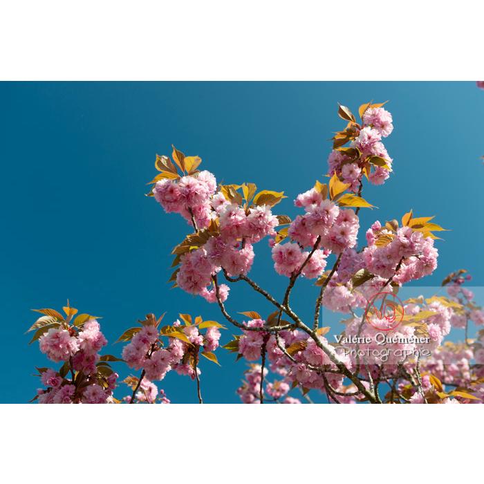Fleurs roses d'un cerisier du japon (prunus serrulata) / Saône-et-Loire / Bourgogne - Réf : VQF&J-10040 (Q3)