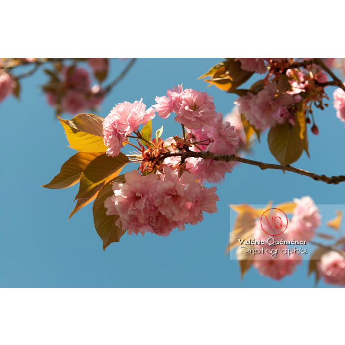 Fleurs roses d'un cerisier du japon (prunus serrulata) / Saône-et-Loire / Bourgogne - Réf : VQF&J-10043 (Q3)