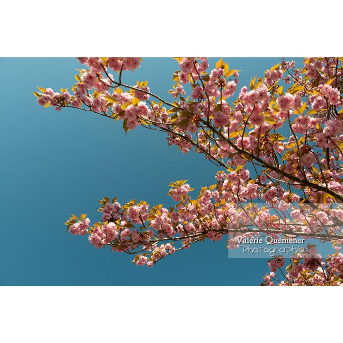 Branches de fleurs roses d'un cerisier du japon (prunus serrulata) / Saône-et-Loire / Bourgogne - Réf : VQF&J-10046 (Q3)