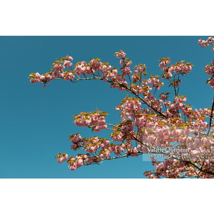 Branches de fleurs roses d'un cerisier du japon (prunus serrulata) / Saône-et-Loire / Bourgogne - Réf : VQF&J-10047 (Q3)