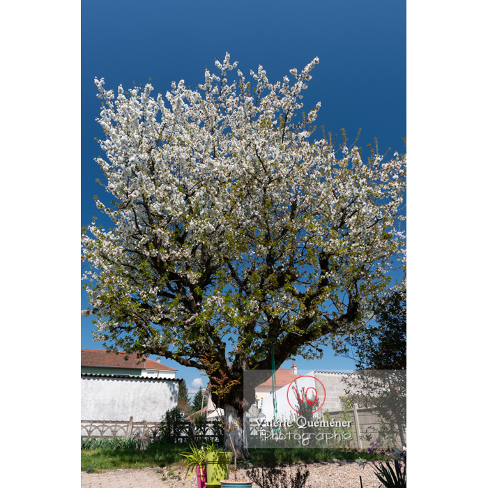 Cerisier à fruit (prunus avium) en fleurs / Saône-et-Loire / Bourgogne - Réf : VQF&J-10048 (Q3)