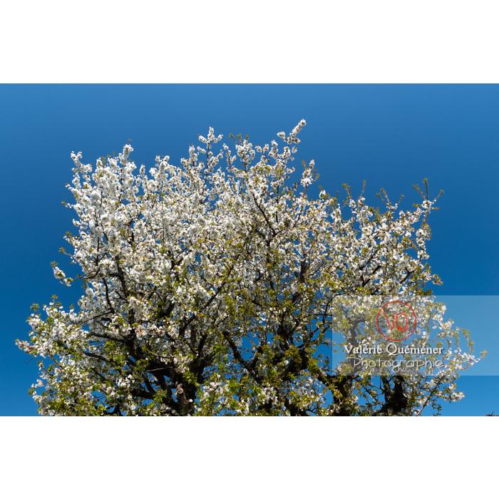 Cerisier à fruit (prunus avium) en fleurs / Saône-et-Loire / Bourgogne - Réf : VQF&J-10049 (Q3)