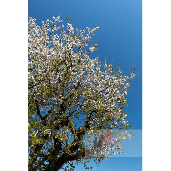 Cerisier à fruit (prunus avium) en fleurs / Saône-et-Loire / Bourgogne - Réf : VQF&J-10051 (Q3)