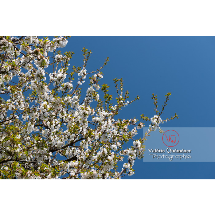Fleurs blanches d'un cerisier à fruit (prunus avium) / Saône-et-Loire / Bourgogne - Réf : VQF&J-10054 (Q3)