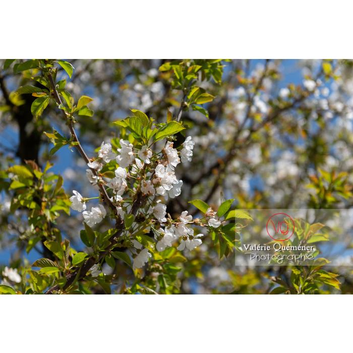 Fleurs blanches et feuillage d'un cerisier à fruit (prunus avium) / Saône-et-Loire / Bourgogne - Réf : VQF&J-10056 (Q3)