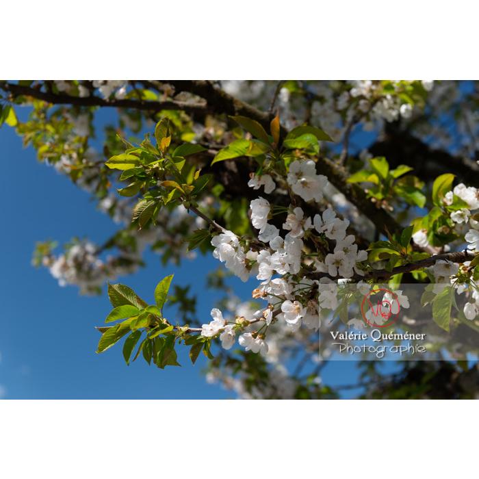 Fleurs blanches et feuillage d'un cerisier à fruit (prunus avium) / Saône-et-Loire / Bourgogne - Réf : VQF&J-10058 (Q3)