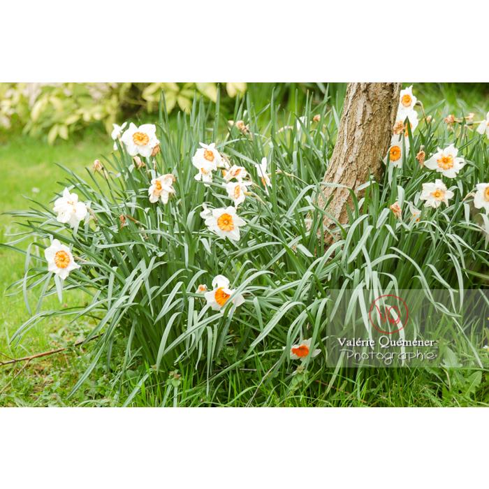 Fleurs de narcisse (narcissus tazetta) - Réf : VQF&J-1006 (Q1)