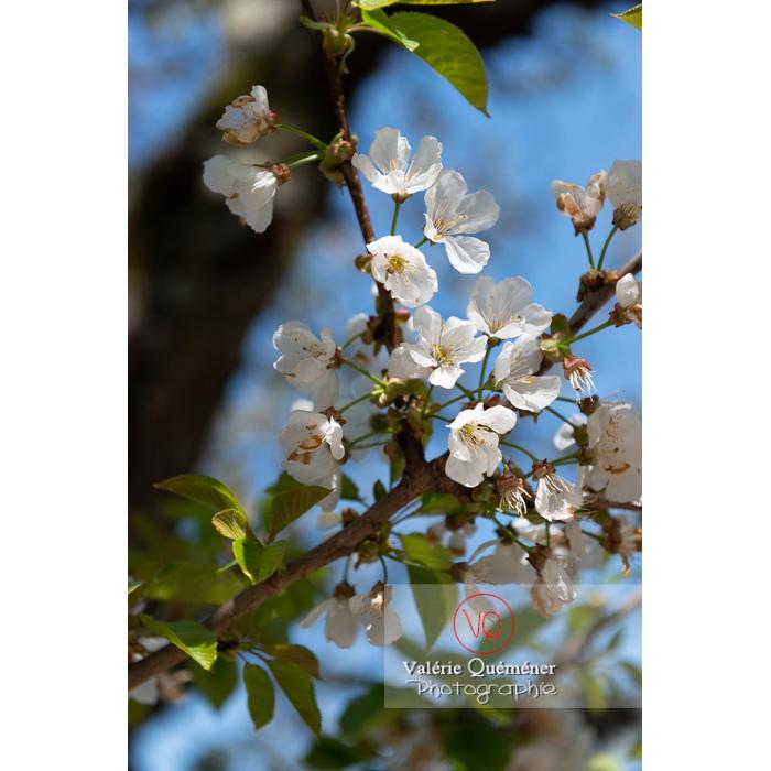 Fleurs blanches d'un cerisier à fruit (prunus avium) / Saône-et-Loire / Bourgogne - Réf : VQF&J-10060 (Q3)