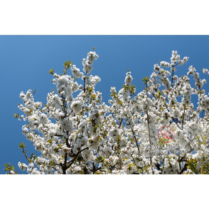 Houppe d'un cerisier à fruit (prunus avium) en fleurs / Saône-et-Loire / Bourgogne - Réf : VQF&J-10061 (Q3)