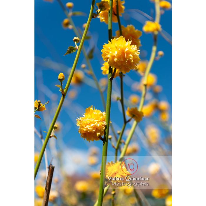 Fleurs jaunes du Corète du Japon (Kerria Japonica) - Réf : VQF&J-10064 (Q3)