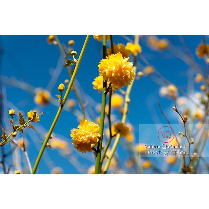 Fleurs jaunes du Corète du Japon (Kerria Japonica) - Réf : VQF&J-10065 (Q3)