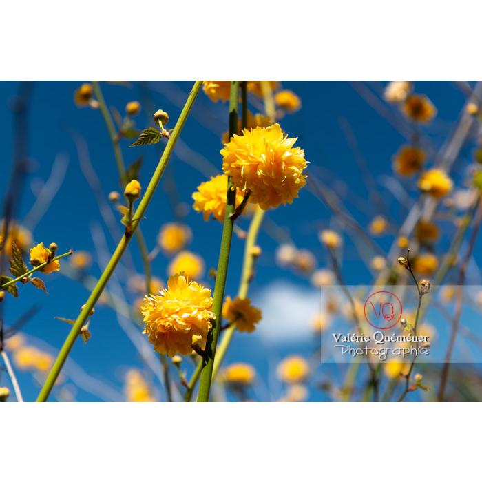 Fleurs jaunes du Corète du Japon (Kerria Japonica) - Réf : VQF&J-10066 (Q3)