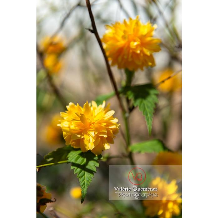 Fleurs jaunes du Corète du Japon (Kerria Japonica) - Réf : VQF&J-10067 (Q3)