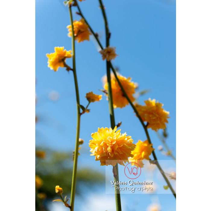 Fleurs jaunes du Corète du Japon (Kerria Japonica) - Réf : VQF&J-10068 (Q3)