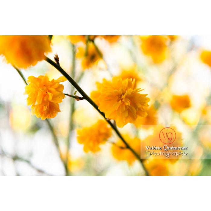 Fleurs jaunes du Corète du Japon (Kerria Japonica) - Réf : VQF&J-10069 (Q3)