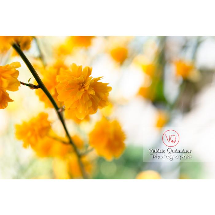 Fleurs jaunes du Corète du Japon (Kerria Japonica) - Réf : VQF&J-10071 (Q3)