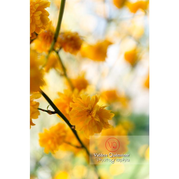 Fleurs jaunes du Corète du Japon (Kerria Japonica) - Réf : VQF&J-10072 (Q3)