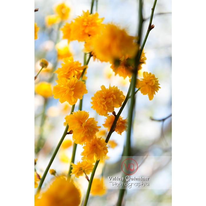 Fleurs jaunes du Corète du Japon (Kerria Japonica) - Réf : VQF&J-10074 (Q3)